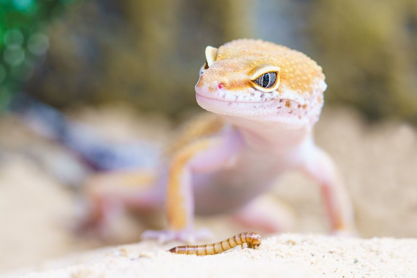 Gecko Found in a Shipping Container from China